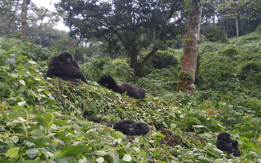 Mountain Gorilla Trekking in Africa