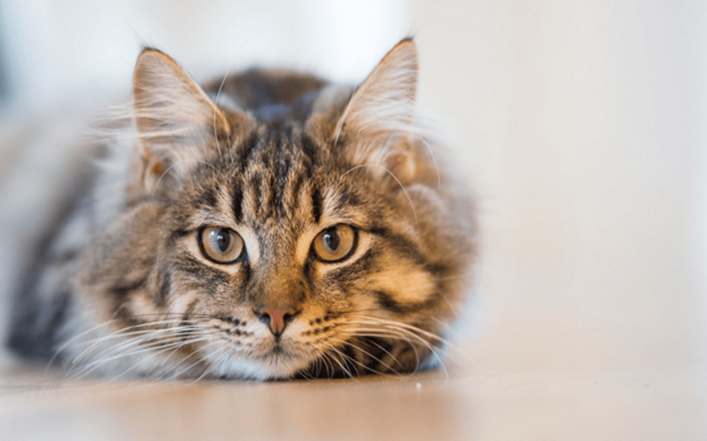 signs of stomach infection in your cat